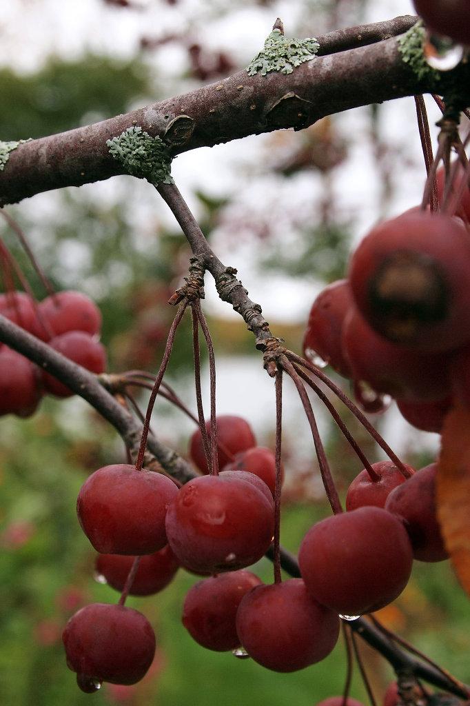 Red Berries at the Lake Winnipesaukee